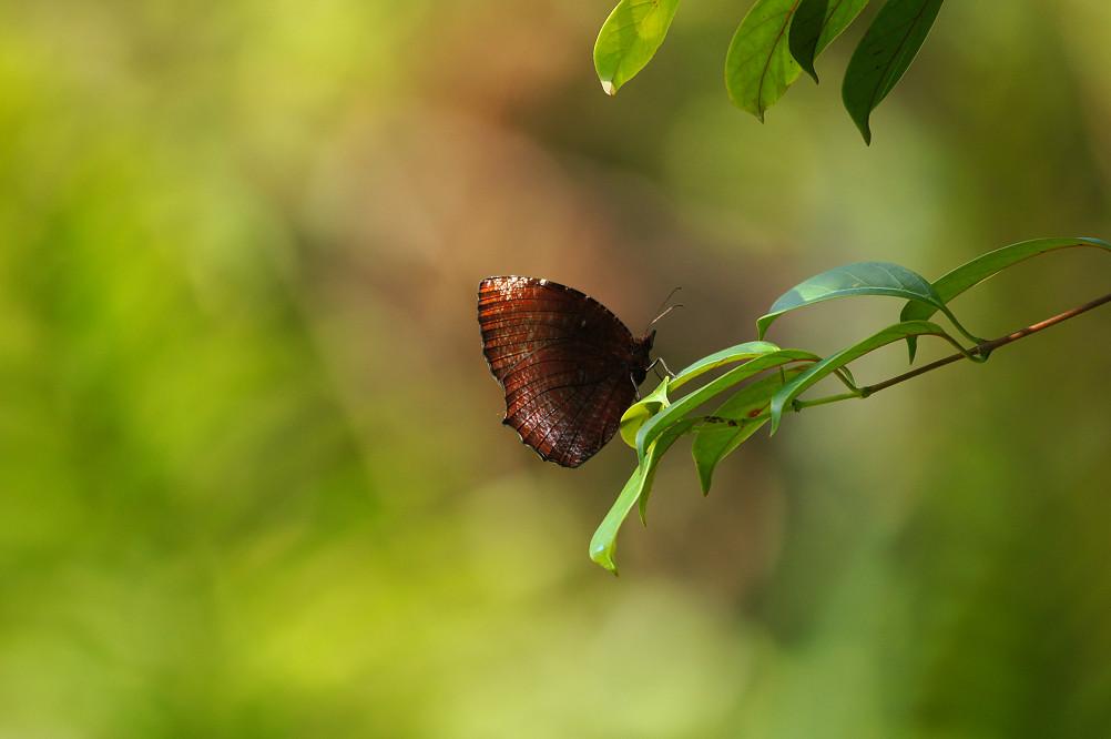紫蛇目蝶-2