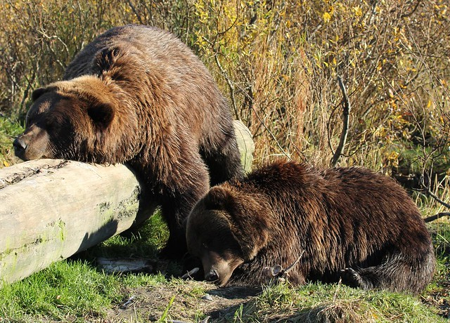 Grizzly Bears having a nap - Alaska Wildlife Conservation Center near Anchorage