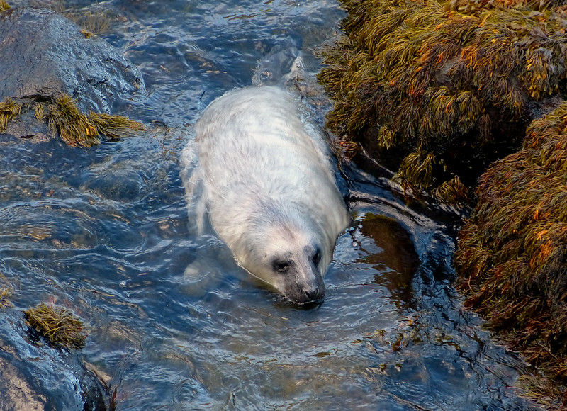 28851 - Grey Seal, Strumble Head