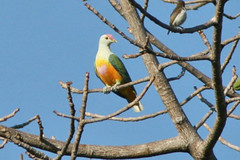 Rose-crowned Fruit Dove (Ptilinopus regina)