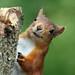 0K4A4585_2 Crop  Red Squirrel