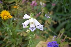 Foxglove Glypt garden 10-25-15 2