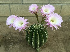 Echinopsis eyriesii - September 23, 2016