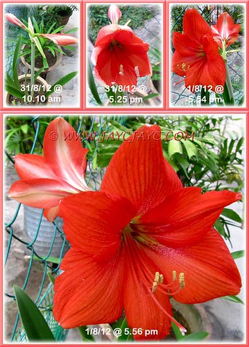 Collage of the blooming stages of our vibrant scarlet-coloured Hippeastrum