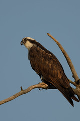 Osprey CO-797_8929.jpg by Mully410 * Images