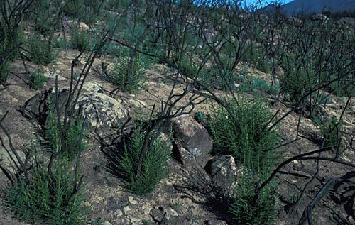 Shrubs sprouting from basal meristems after fire
