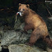 Brown Bear with Salmon catch heads for the safety of the woods 1CGS6044