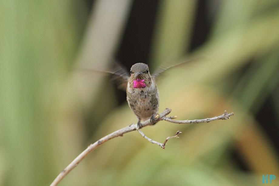 Costa's X Anna's Hummingbird 090312-3