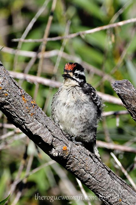081412_01_bird_woodpecker01