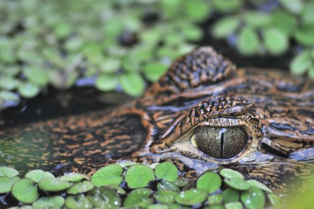 Los ojos de un caimán asomando sigilosamente entre la vegetación y la maleza de los canales Tortuguero - 7950170472 6a3c816e20 z - Tortuguero, entre la tranquilidad y la vida salvaje
