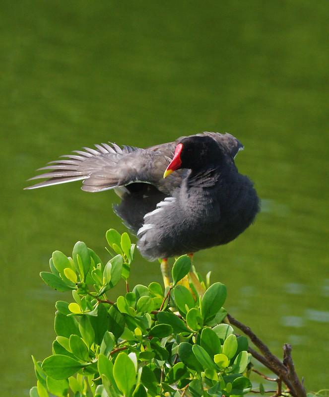 台南鳥拍 - 本土留鳥篇