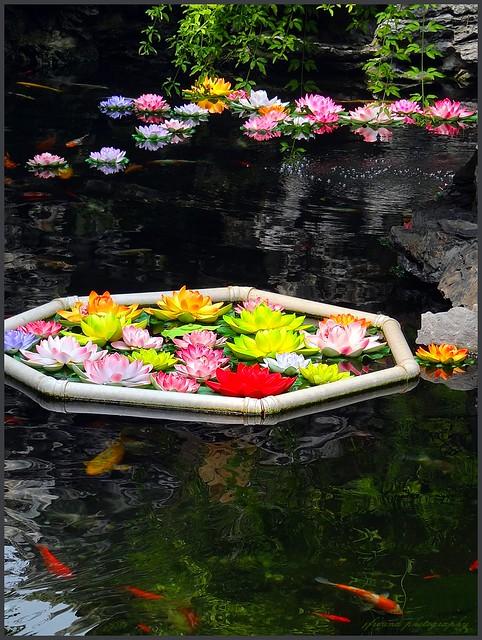 The lotus pond with koi carps in the jade buddha temple for Koi fish pond lotus