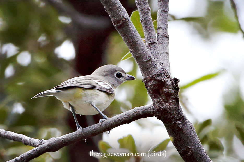 090212_04_bird_pass_plumbousViero