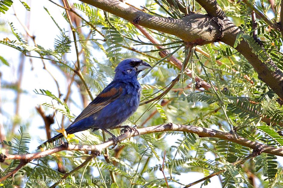 090212_04_bird_pass_blueGrosbeak