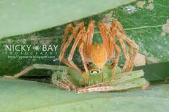 Huntsman Spiders (Sparassidae) - DSC_3653