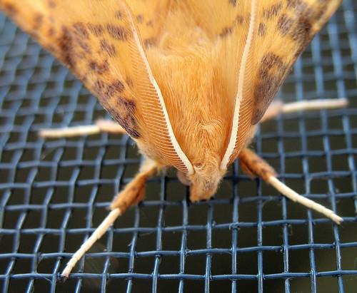 moth mullet