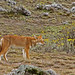Ethiopian Wolf (Andy Smith)