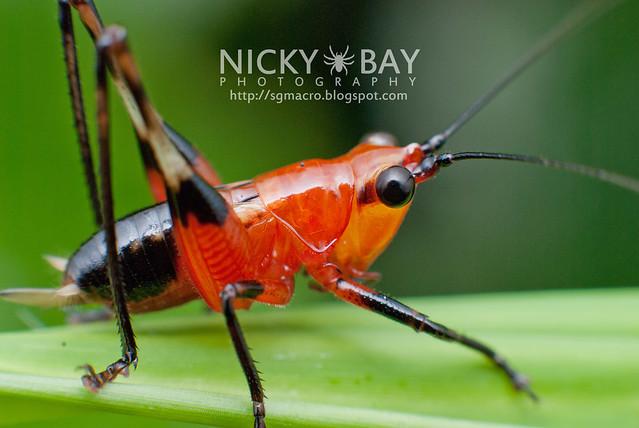 Cricket - DSC_7112