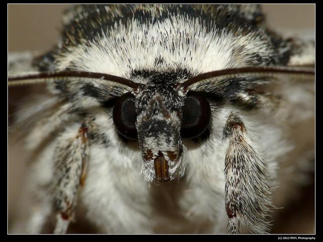 White Underwing Moth (Catocala relicta)