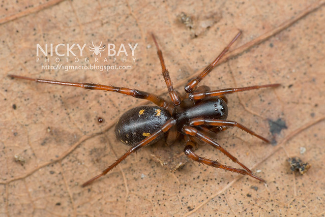 Ground Spider (Zodariidae) - DSC_1328