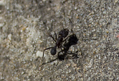 fly(0.0), soil(0.0), dung beetle(0.0), beetle(0.0), wolf spider(0.0), arthropod(1.0), animal(1.0), ant(1.0), invertebrate(1.0), insect(1.0), macro photography(1.0), fauna(1.0), close-up(1.0), pest(1.0), wildlife(1.0),