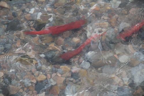 Close up of the Kokanee Salmon