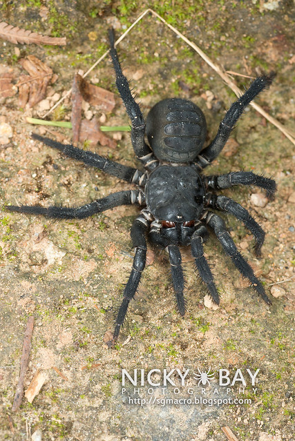 Black Armoured Trapdoor Spider (Liphistius malayanus) - DSC_6196