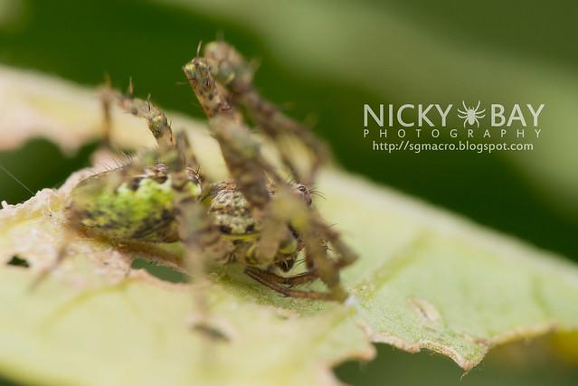 Orb Weaver Spider (Araneidae) - DSC_5691