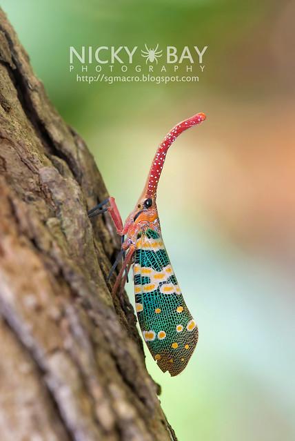 Lantern Bug (Pyrops candelaria) - DSC_3773