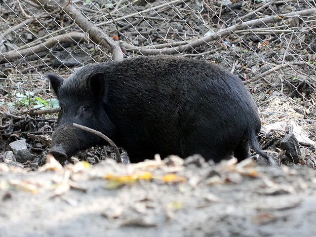 Wild pig; Sus scrofa