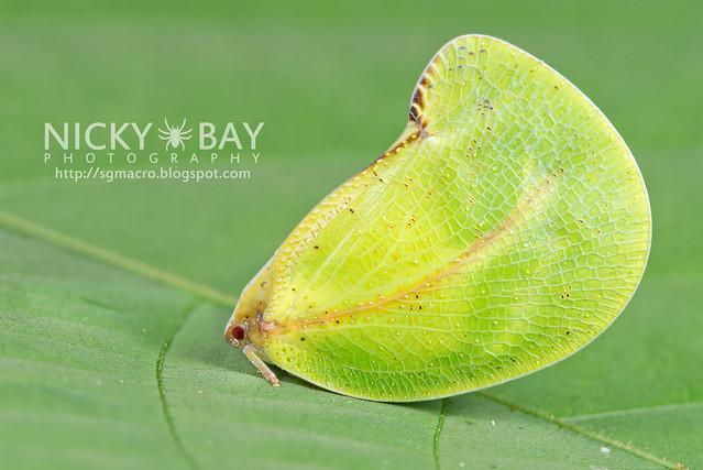 Flatid Planthopper (Flatidae?) - DSC_8895