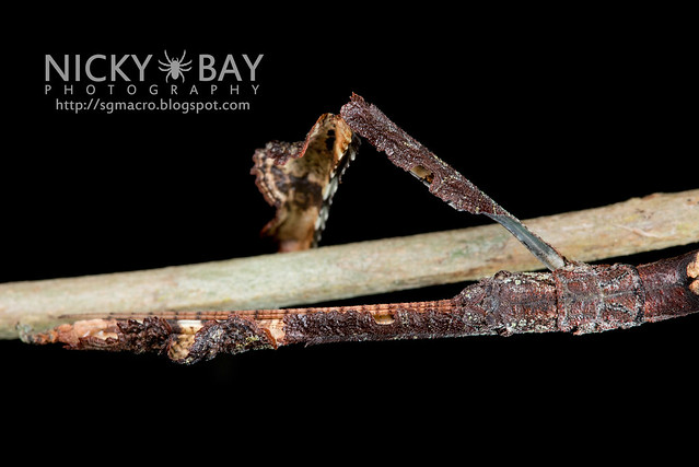 Stick Insect (Phasmatodea) - DSC_8888