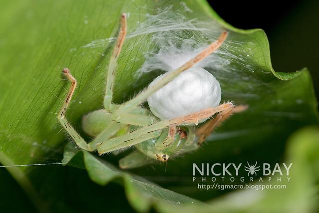 Huntsman Spider (Sparassidae) - DSC_8625