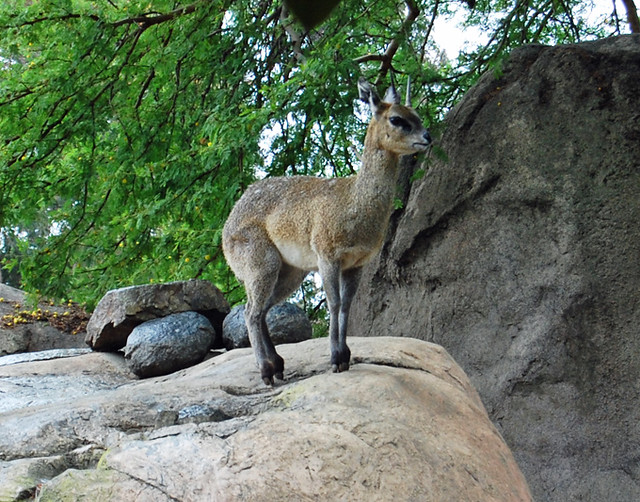 klipspringer - san diego zoo discount coupons