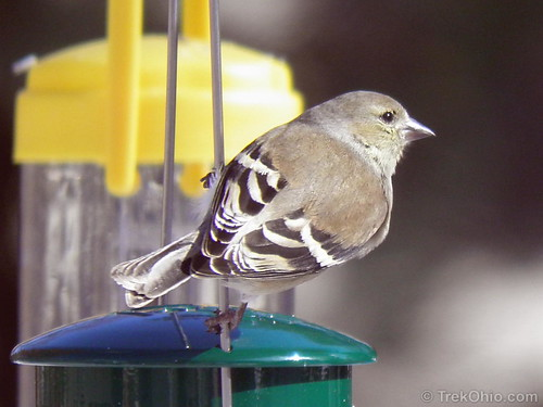 Female goldfinch, winter color