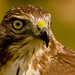 coopershawk by mark*62