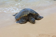 loggerhead(0.0), common snapping turtle(0.0), leatherback turtle(0.0), animal(1.0), turtle(1.0), reptile(1.0), fauna(1.0), sea turtle(1.0), tortoise(1.0),