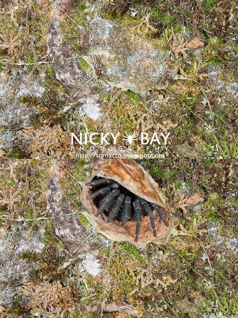 Black Armored Trapdoor Spider's Burrow (Liphistius malayanus) - DSC_5271b
