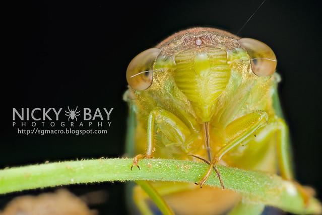Cicada (Cicadidae) - DSC_7373