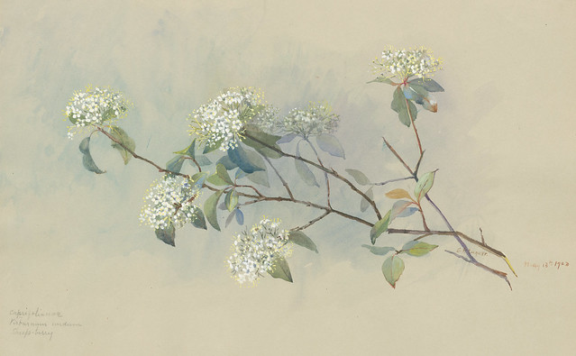 Eloise Payne Luquer, Nannyberry, Viburnum lentago, 1903. Watercolor and gouache on paper.