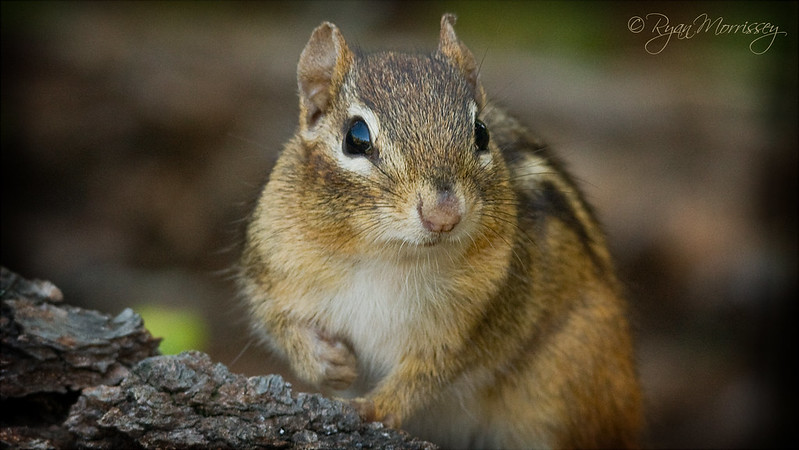 """Pardon me, could you possibly spare an acorn?"" - Chipmunk"