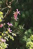 275/366 Silk Floss Tree (Chorisia speciosa)
