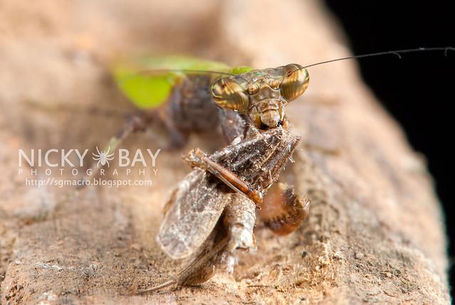 Praying Mantis (Acromantis sp.) - DSC_5615