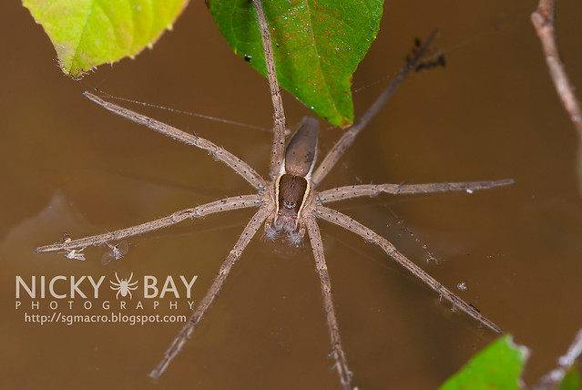 Fishing Spider (Nilus sp.) - DSC_3342