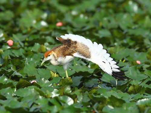 水雉幼鳥。(圖片來源:台南市水雉生態園區)