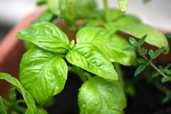 vegetable(0.0), produce(0.0), food(0.0), plant(1.0), herb(1.0), basil(1.0),