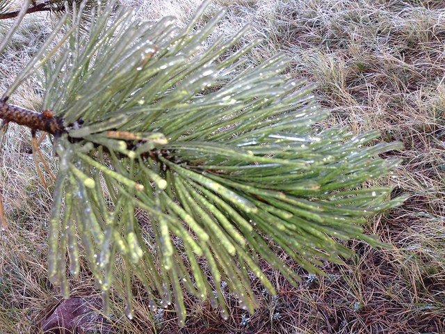 Frozen Pine Needles -Hiking at NCAR, Boulder, CO