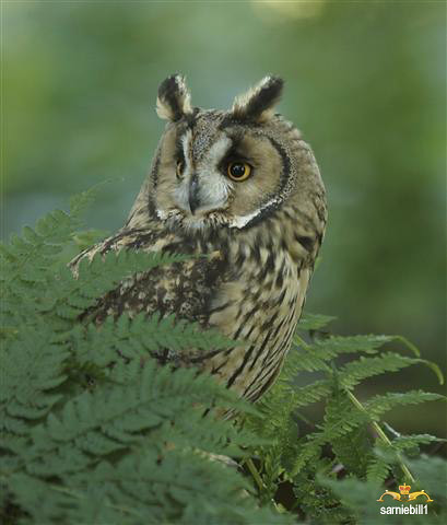 Long eared owl by sarniebill1