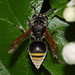 Mexican Honey Wasp - Photo (c) Jason Penney, all rights reserved