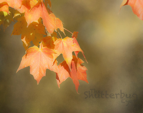 Maple by The Shutterbug Eye™